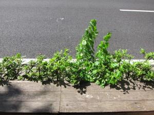 歩道と道路の間の隙間に生える雑草